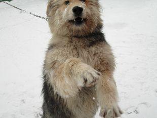 Wolf (dog)