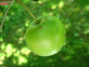 Зеленые яблоки в листве. Деревня