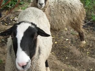 Овцы на даче