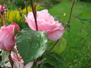 Цветы после дождя. Деревня